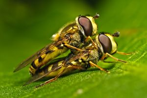 Macro close up of mating bees on green leaf
