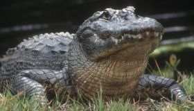American alligator (Alligator mississippiensis) Adult basking
