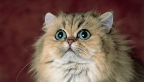 Close-up of a Shaded Golden Persian cat