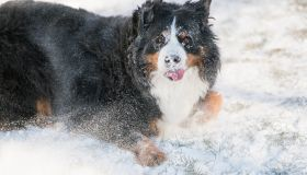 A Bernese Mountain Dog Is Fully Covered and Rolling in Snow